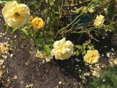 yellow roses - Copy